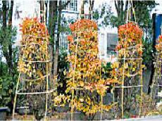 庭木の冬囲い!低木、バラ、ツツジ、ムシロ・シート使用の冬囲いと、高木の雪吊り方法を紹介の画像