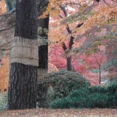 害虫駆除のために冬にしておきたい!家でもできる先人の知恵・松の木の「こも巻き」の画像