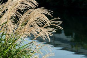 薄 秋の七草